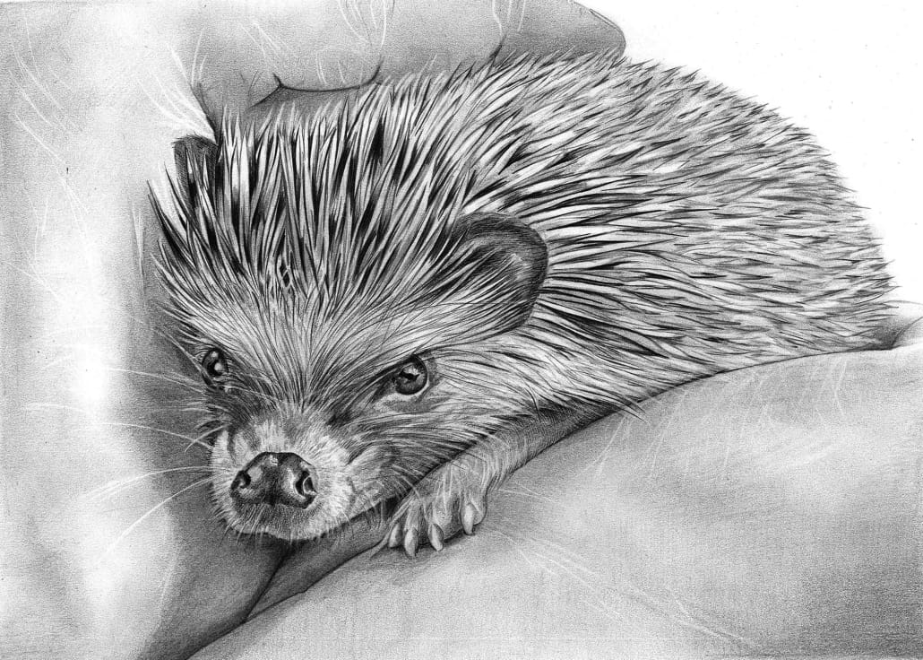 Pencil Drawing of Baby Hedgehog