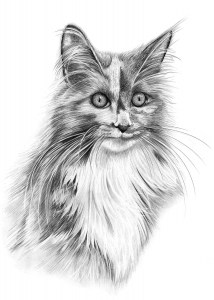 Pencil Drawing of Maine Coon Cat