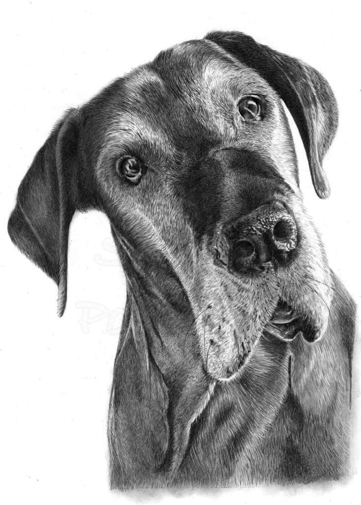 Pencil Drawing of Dog