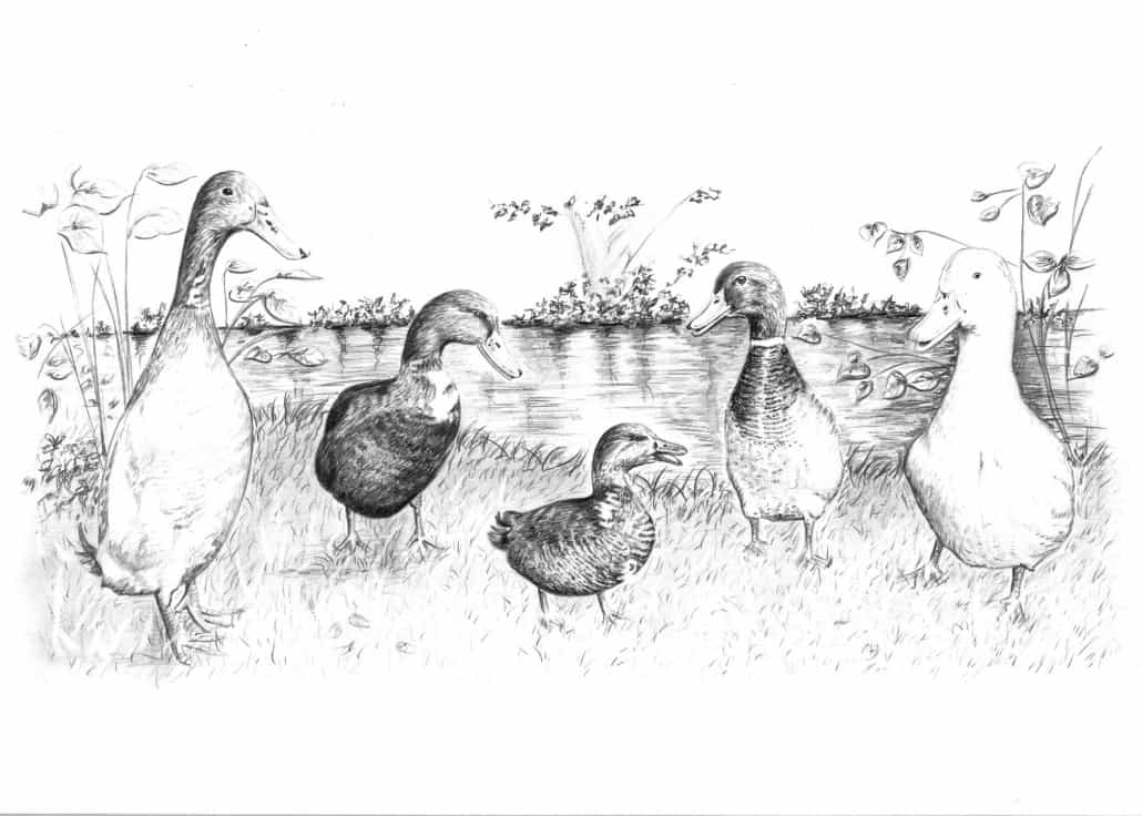 Pencil Drawing of Ducks and Geese