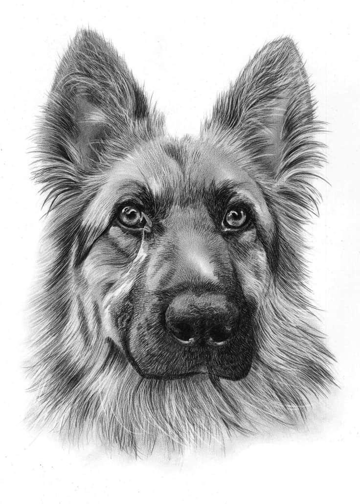 Pencil Drawing of German Shepherd