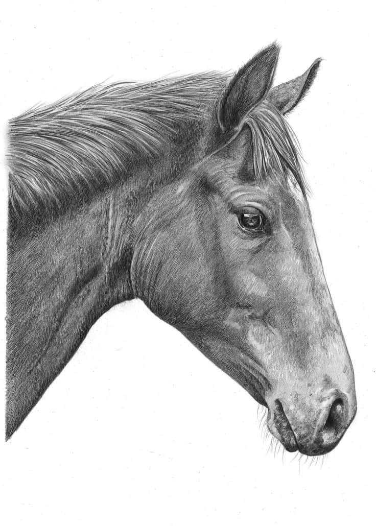 Pencil Portrait of Horse 2