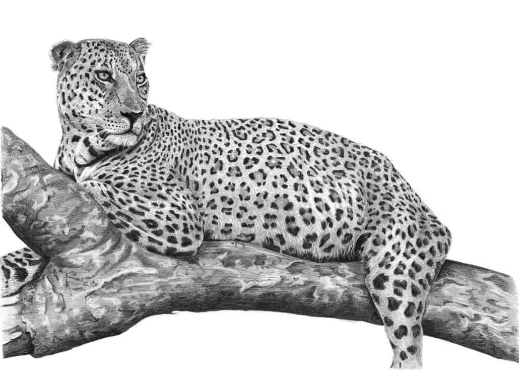 Pencil Drawing of Leopard