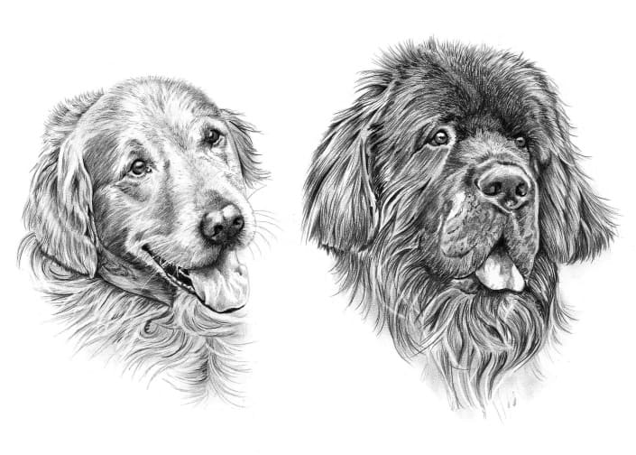 Pencil Drawing of Golden Retriever and Newfoundland Dogs