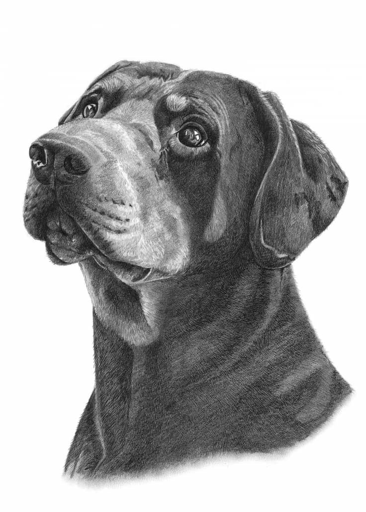 Pencil Drawing of Rottweiler Dog