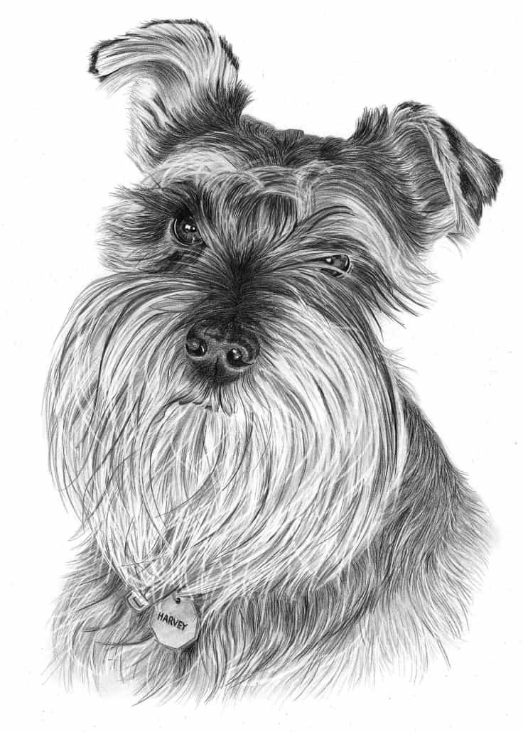 Pencil Drawing of Schnauser Dog