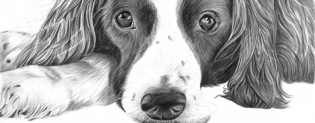 Drawing of Spaniel Dog