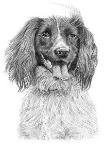 Pencil Drawing of Spaniel Dog