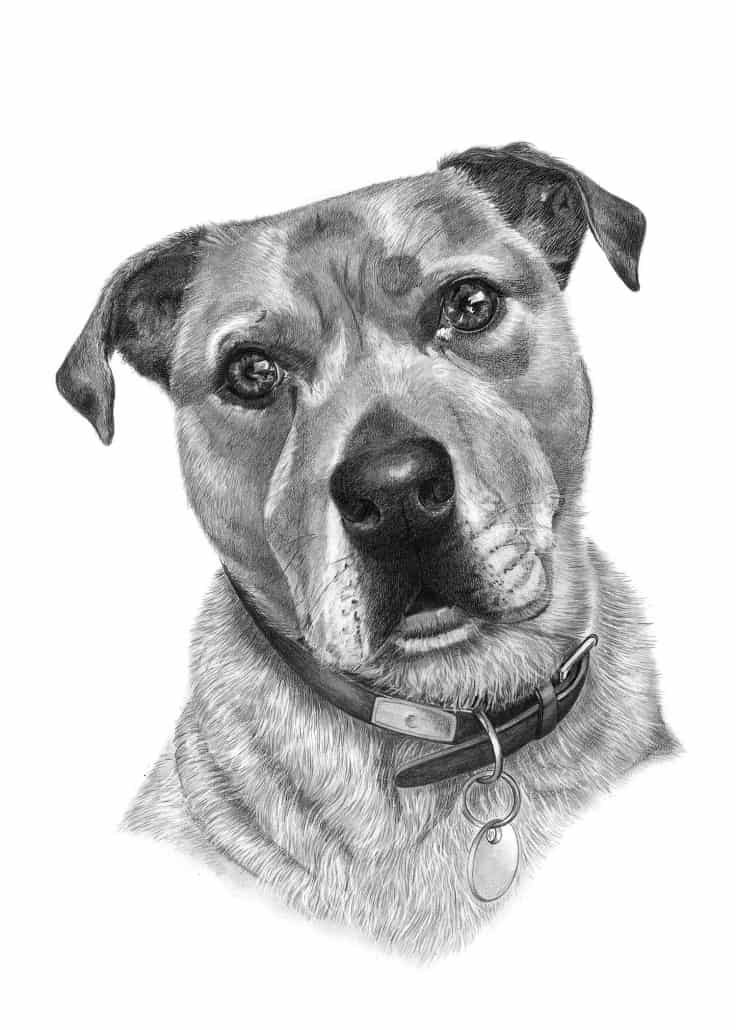 Pencil Drawing of Staffordshire Terrier Dog