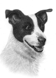 Pencil Drawing of Jack Russell