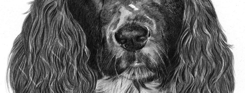 Pencil Drawing of Working Cocker Spaniel
